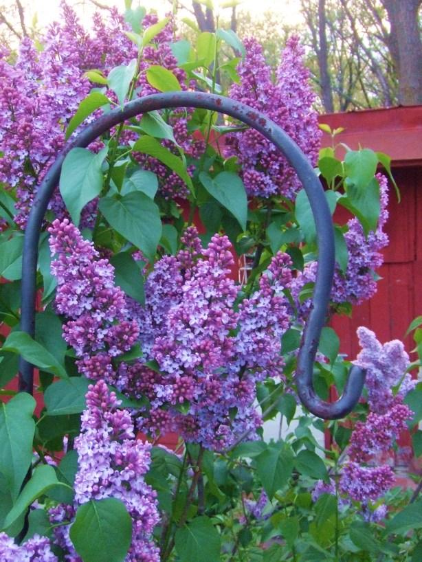 Lilacs 3 08
