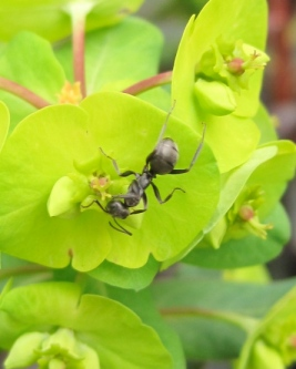 Ant on Spurge