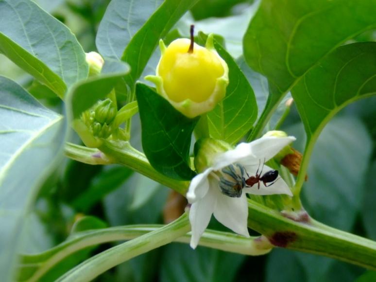 Ant on pepper blossom