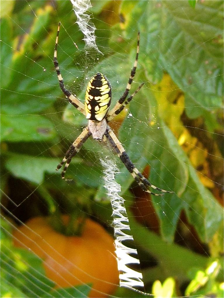 Argiope aurantia Spider