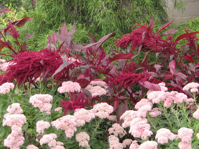 Sedum and Amaranth