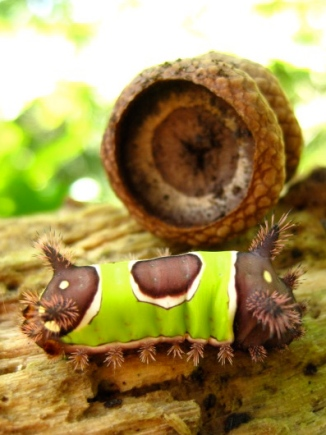 Saddleback Moth Caterpillar