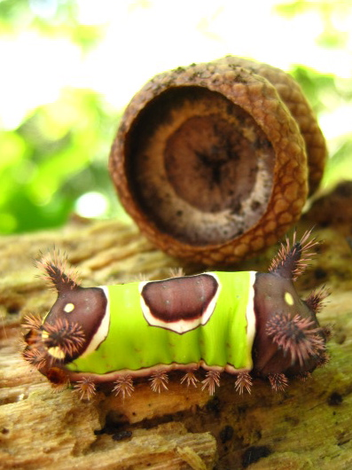 Saddleback Moth Caterpillar