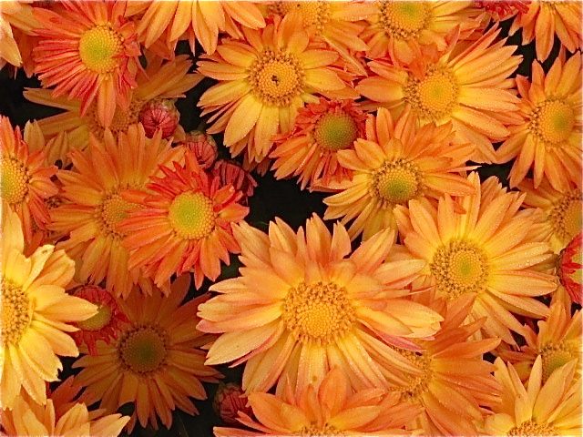 Orange Daisy Mum flower