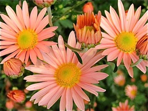 Pink Daisy mums flower