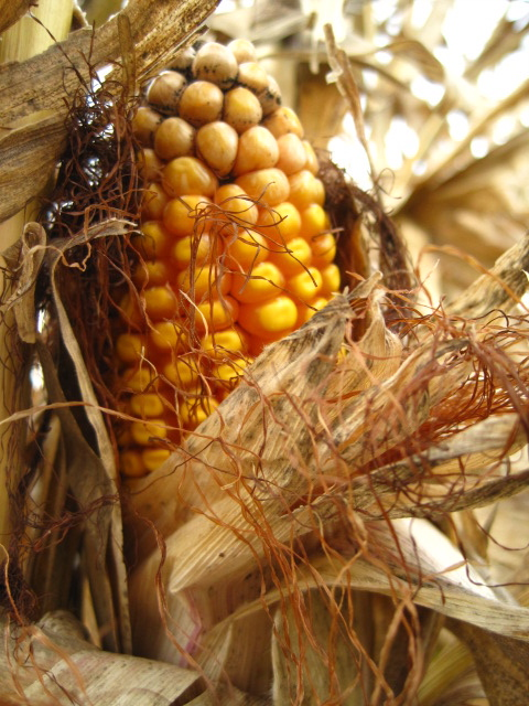 Yellow Gold Corn