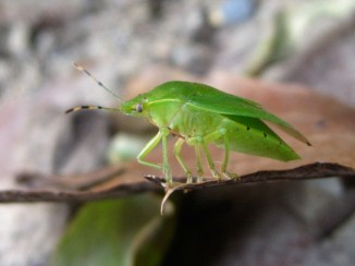 The green stink bug or green soldier bug (Acrosternum hilare)