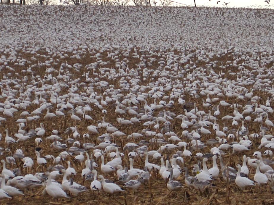 Snow geese in field