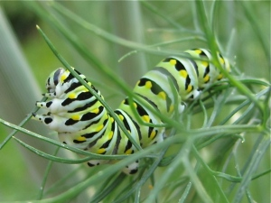 Black swallow tail caterpillar