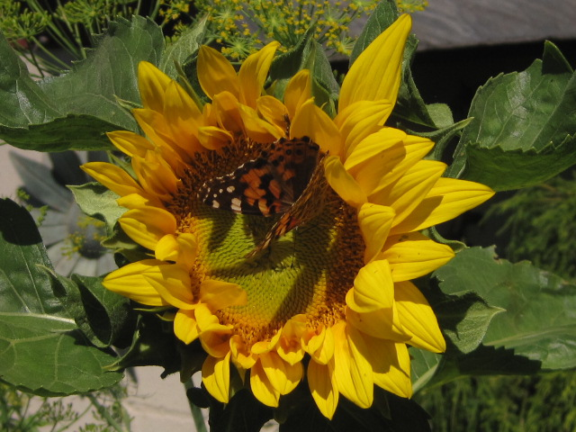 Red Admiral on Sunflower