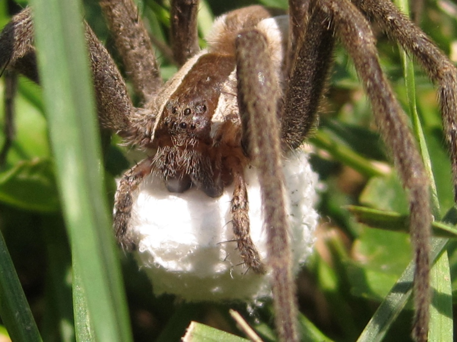 Nursery Web spider with her egg case