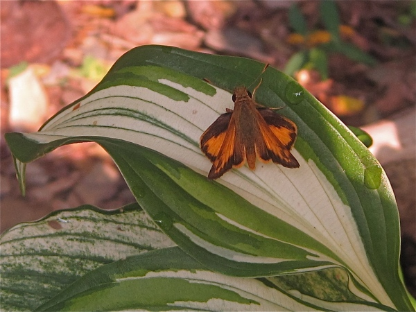 Skipper Butterfly on Hosta