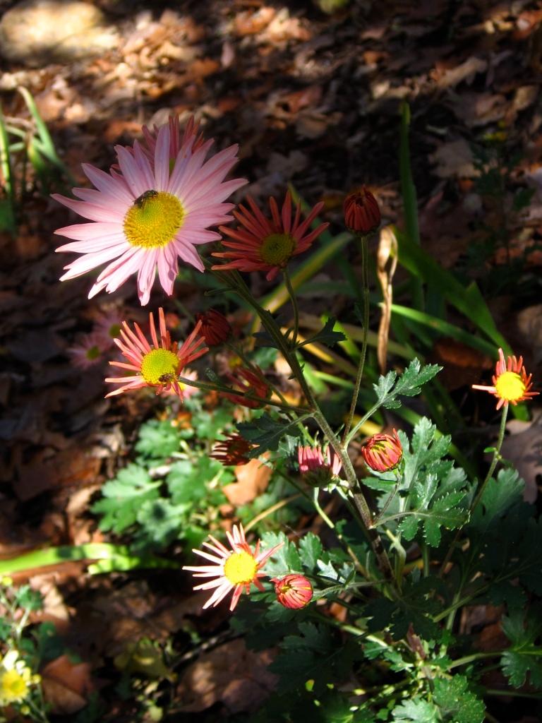 Daisy mums Chrysanthemum