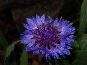 Mountain Bluet Flower