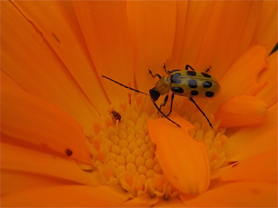 Spotted Cucumber Beetle on Calendula Flower