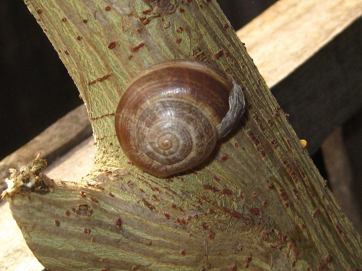 Land snail - 3