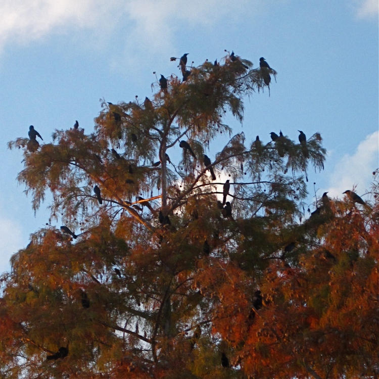 Flock of grackles