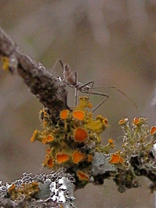 Lichen and insect Enchanted Rock State Park