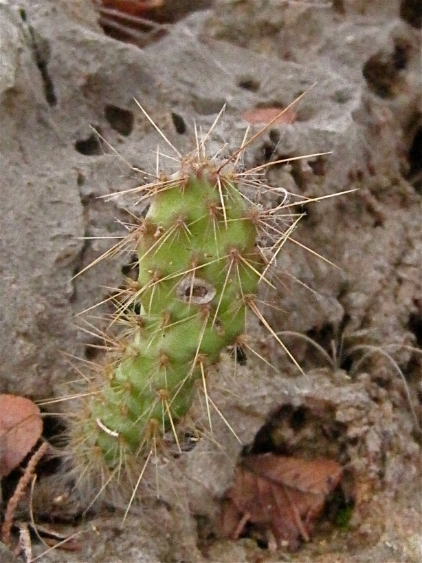 Prickly Pear Cactus emerging from a rock