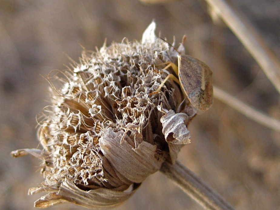Dried Flower  McKinney Falls State Park