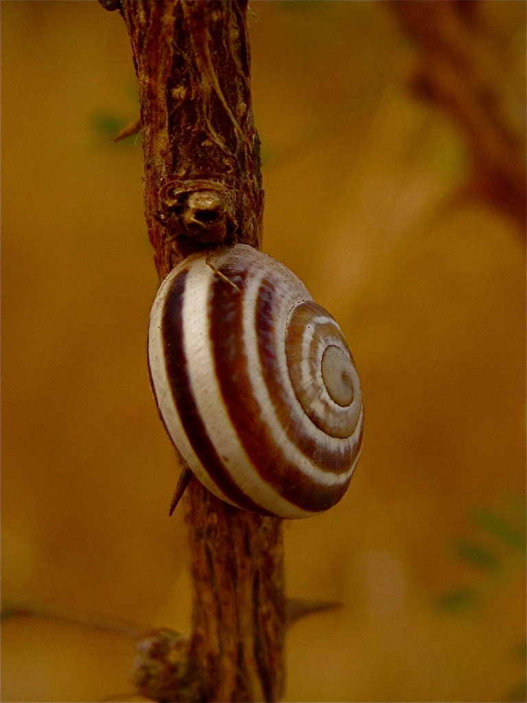 Land snail on a mesquite branch