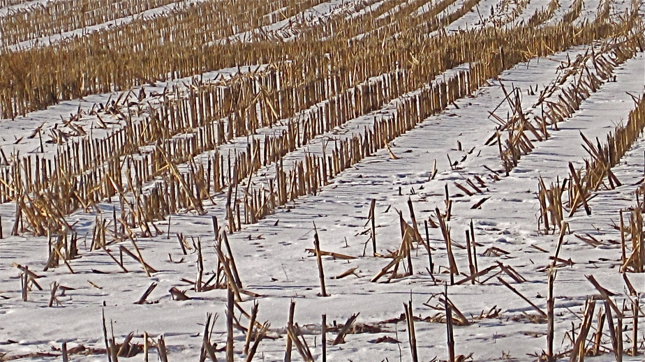 Snowy field of harvested corn