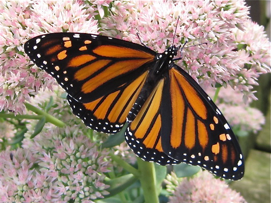 Monarch opened on Stone Crop sedum
