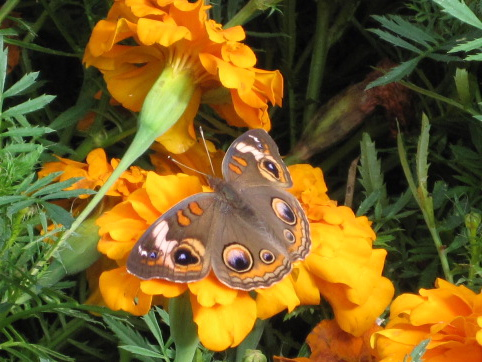 Common Buckeye Buttertfly wings opened