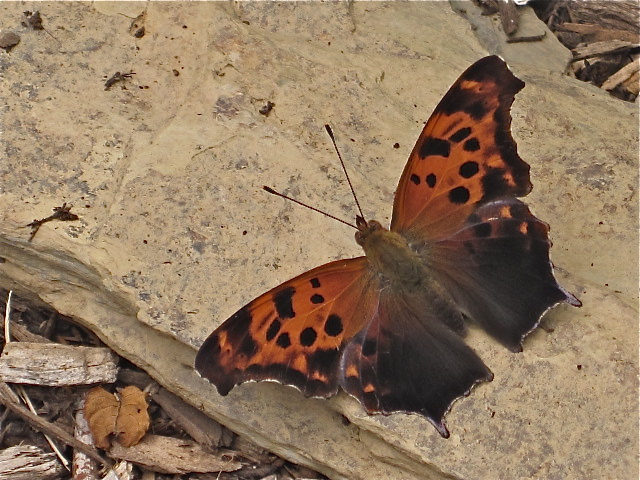 Eastern Comma (Polygonia comma) opened