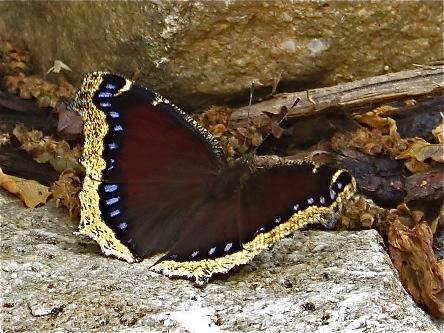 Morning Cloak butterfly - wings opened