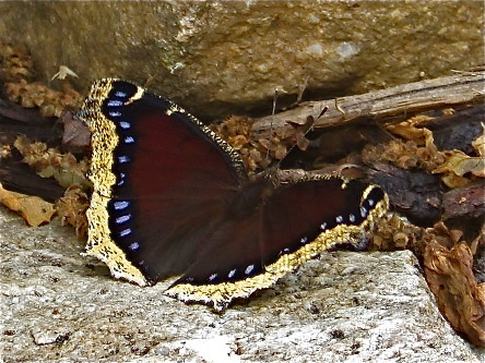 Mourning Cloak - wings opened