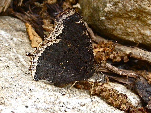 Mourning Cloak - wings closed