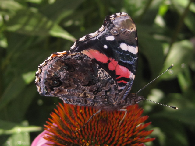 Red Admiral butterfly wings closed