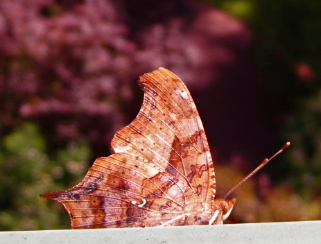 Eastern Comma (Polygonia comma) shut
