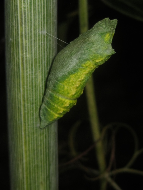Black Swallowtail Butterfly pupa