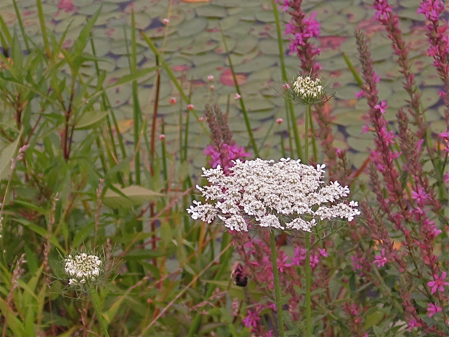 Queen Anne's Lace with purple loosestrife lythrum salicaria