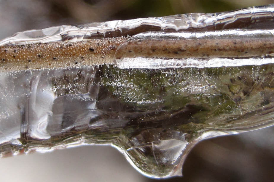Ice encased branch
