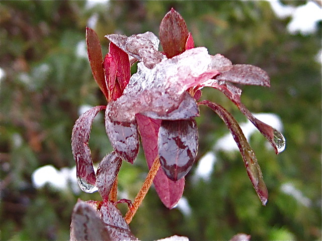 Azalea in winter