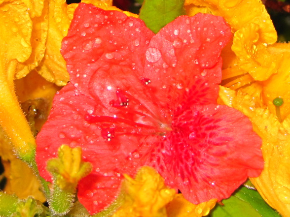 Azalea in spring