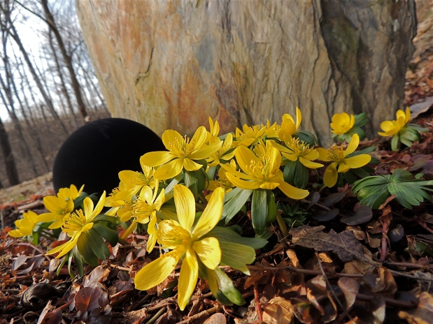 Winter Aconite Flowers