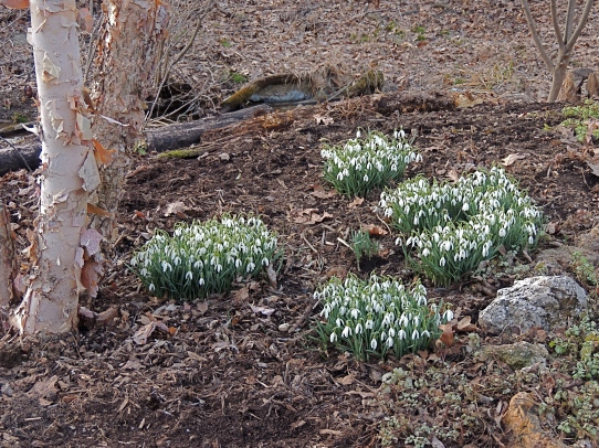 Drift of Snowdrops under River Birch