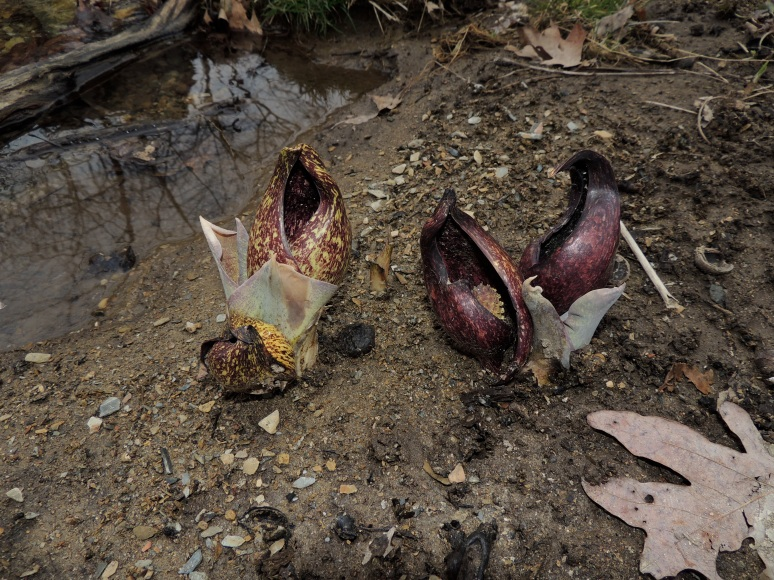 Skunk Cabbage Across the Stream
