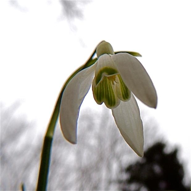 Singular Blossom Snowdrop