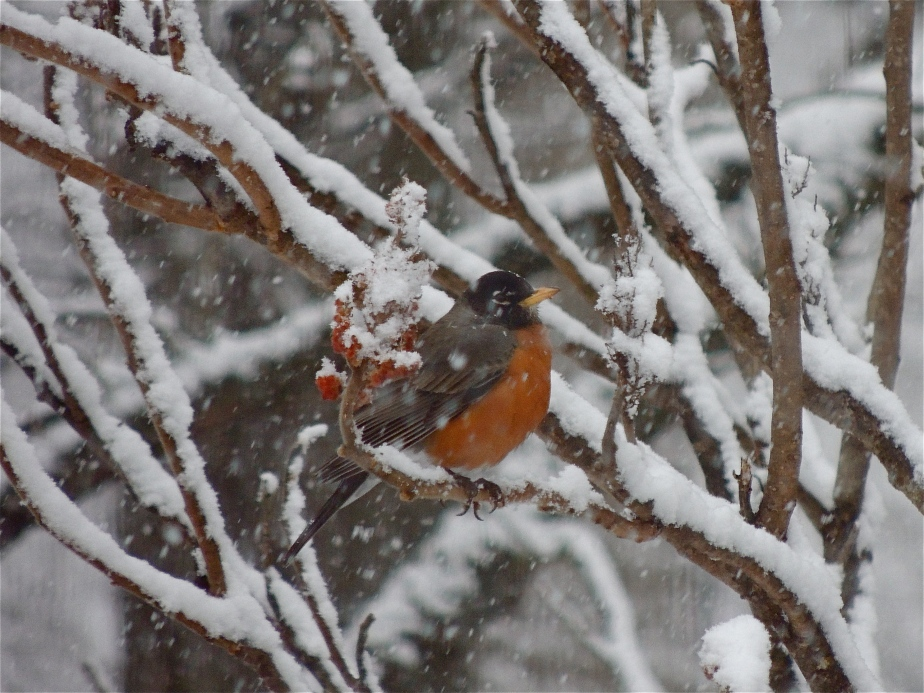 American robin bird on sumac in winter