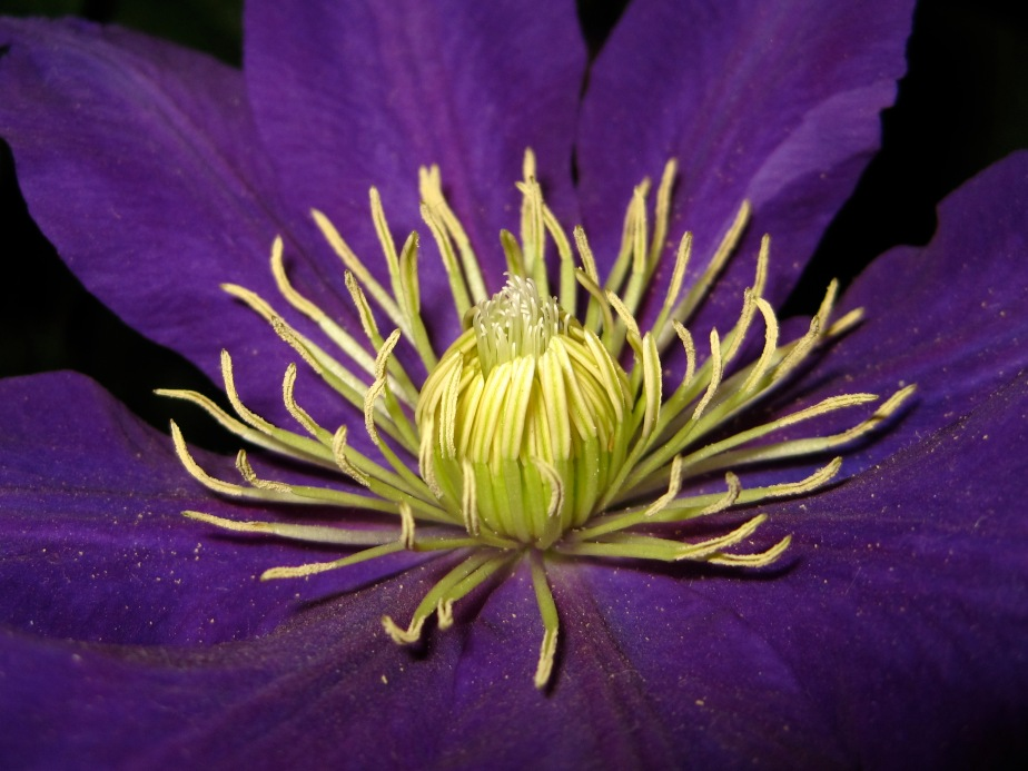 Floating - Clematis flower 3
