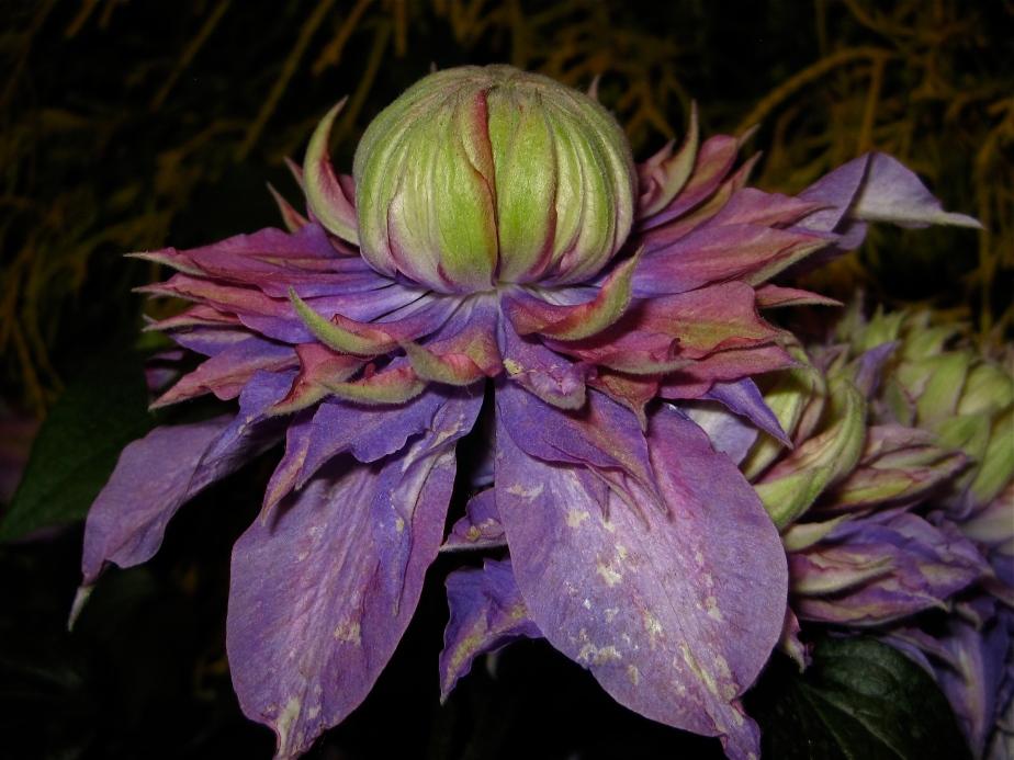 Clematis flower - 2