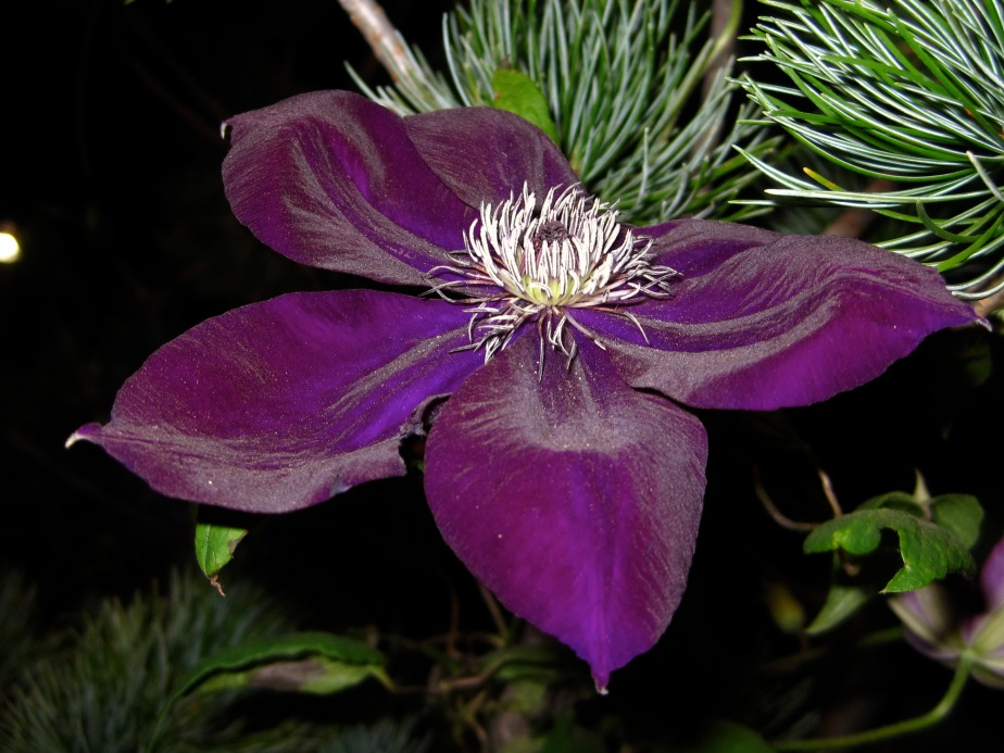 Clematis by Raymond Evison
