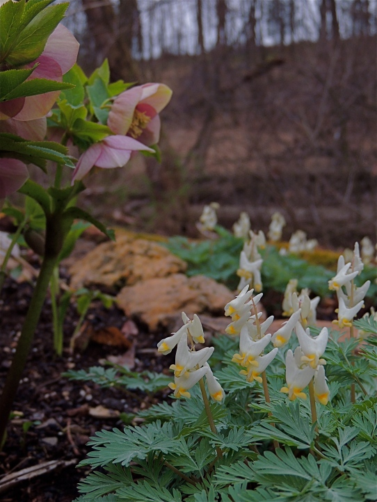 Helleborus and Dutchman's Breeches