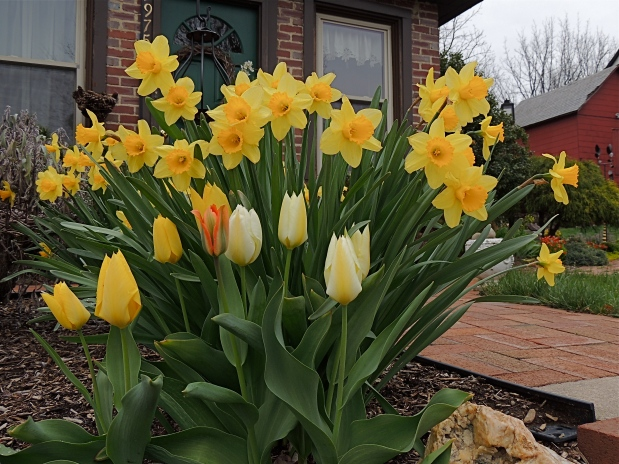 Daffodil flowers and Darwin Tulips