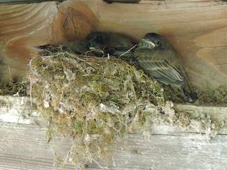 Flycatcher Hatchlings in their nest